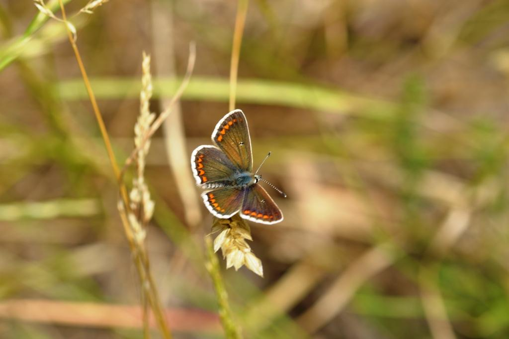 brownargus-in-martbells-with-discal----------white-rather-than-black--spots
