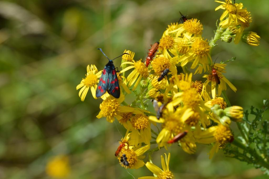 six-spot-burnet--with-red-cardinal------beetles--the-bonking-beetle--Martbellswood